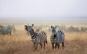Picture nature, Savana, Zebra