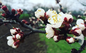 Picture Spring, apricot, flowering