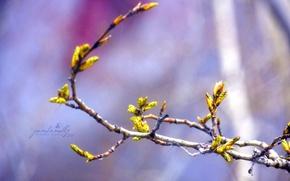 Picture macro, branches, tree, spring, kidney, April, poplar