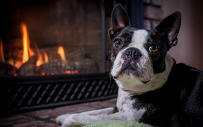 Picture look, face, dog, fireplace, Boston Terrier