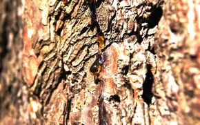 Picture summer, nature, tree, heat, bark, brown, pine, amber, resin