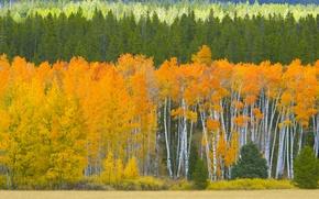 Picture autumn, forest, leaves, trees, USA, aspen, Aspen