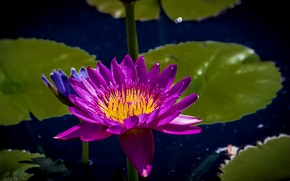 Picture water Lily, Lily, Nymphaeum