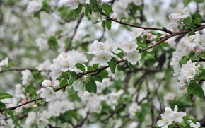 Wallpaper tree, Apple, branches, spring