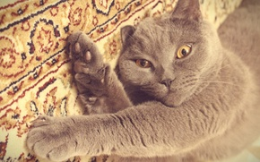 Picture cat, grey, kitty, British, play