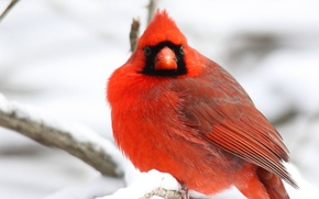 Picture winter, snow, branches, tree, bird, red, Northern, Cardinal, Cardinal