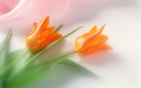 Picture mood, holiday, tenderness, tulips