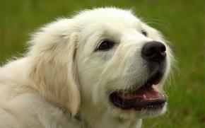 Picture face, dog, Golden Retriever, Golden Retriever