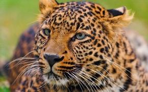 Picture mustache, face, leopard, lies, leopard, curiosity, panthera pardus