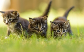 Picture greens, summer, grass, blur, kittens, grey, three