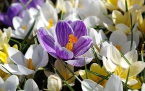 Picture macro, petals, crocuses