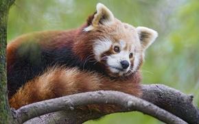 Picture branch, red Panda, firefox, red Panda, ©Tambako The Jaguar