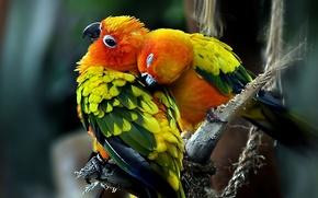 Wallpaper love, Birds, pair, parrots