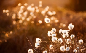 Picture sunset, bokeh, Cottongrass