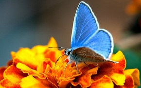 Picture flower, yellow, butterfly, wings, blue