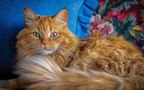 Wallpaper look, fluffy, red, cat