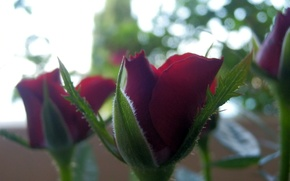 Picture red, macro, flowers, roses, nature