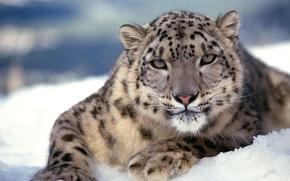 Picture cat, snow, predator