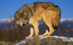 Picture grey, wolf, predator, wolf