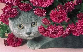Picture cat, flowers, grey, beautiful, chubby kitty, purple