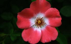 Picture macro, Flower, makro, Briar