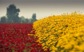 Picture red, flower, yellow