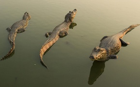 Picture water, reflection, crocodiles, Cayman