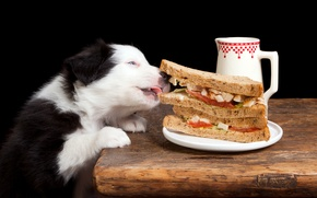 Picture food, dog, sandwich, delicious, Dogs, The border collie