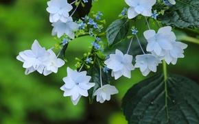 Picture macro, flowers, hydrangea