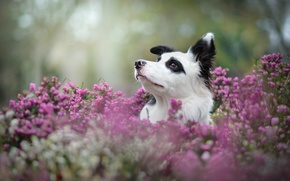 Picture face, dog, Heather, The border collie