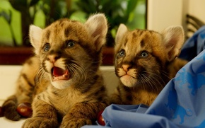 Picture kittens, nature, Puma, cubs, pomata, animals, predators