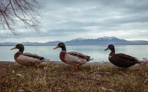 Picture nature, winter, mountains, mountain, birds, three, pond, ducks, Duck