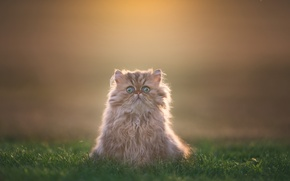 Picture grass, look, background, fluffy, kitty