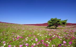 Picture flowers, tree, Japan, meadow, Japan, kosmeya, Hitachi Seaside Park, Hitachinaka, Hitachinaka, Seaside Park, Hitachi