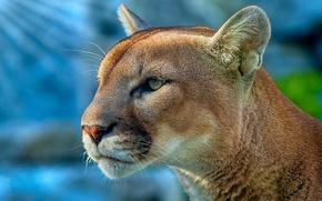 Wallpaper Puma, face, predator, look