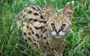 Picture look, ears, wild cat, Serval