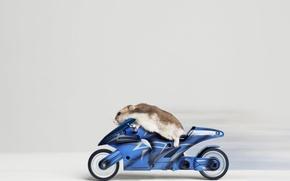 Picture animal, speed, motorcycle, biker, hamster