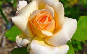 Picture Bud, macro, petals, rose