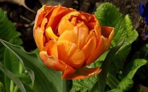 Picture orange, Tulip, Spring, Spring, orange, Bokeh, Tulips, Bokeh