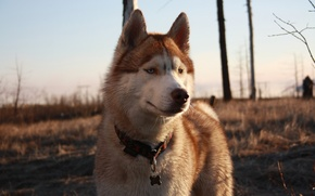 Picture dogs, tundra, husky