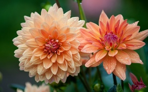Picture macro, flowers, focus, garden, dahlias