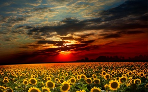 Picture field, the sky, sunflowers, sunset, clouds