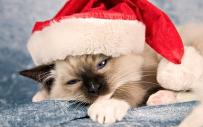 Picture cat, cat, kitty, holiday, new year, new year, Santa Claus, cap
