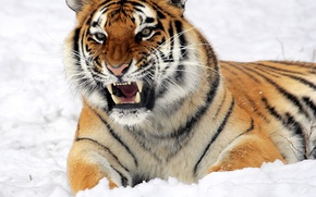 Picture look, face, snow, tiger, grin, lies, the threat