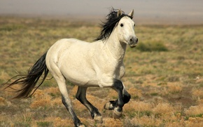 Picture HORSE, TAIL, MANE, GALLOP