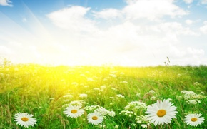 Wallpaper flowers, macro, chamomile, field, garden, Daisy