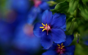 Picture flower, macro, blue