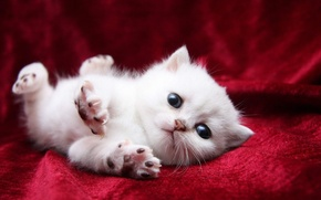 Picture cat, white, eyes, cat, paws, blanket, blanket, kitty, cat, stretching