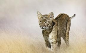 Picture blur, lynx, bokeh, predator, field, grass