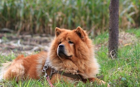 Picture grass, dog, Chow